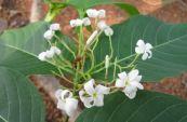 Mức hoa trắng - Tác dụng trừ lỵ