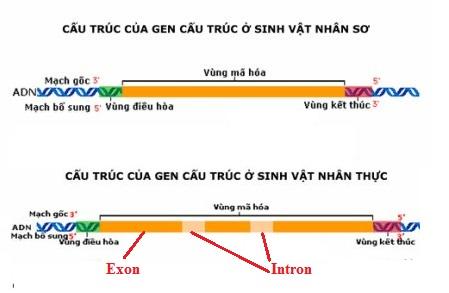 Cấu trúc của gen cấu trúc ở sinh vật nhân sơ