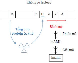 Sự điều hòa hoạt động của operonlac khi môi trường không có lactozo