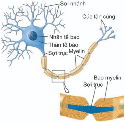 Cấu tạo của nơron