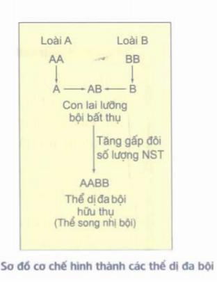 sơ đồ cơ chế hình thành các thể dị đa bội