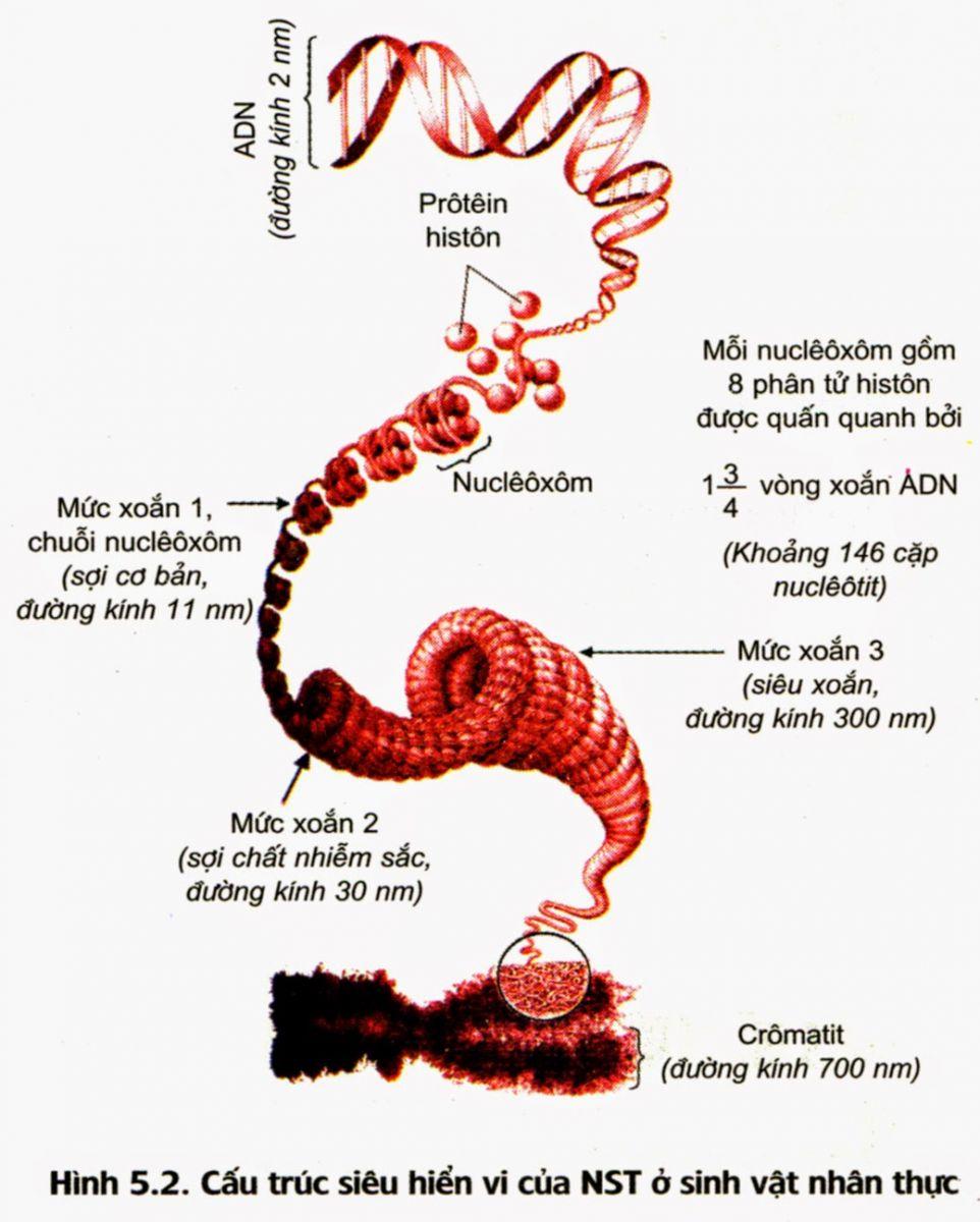 Cấu trúc siêu hiển vi của NST ở sinh vật nhân thực