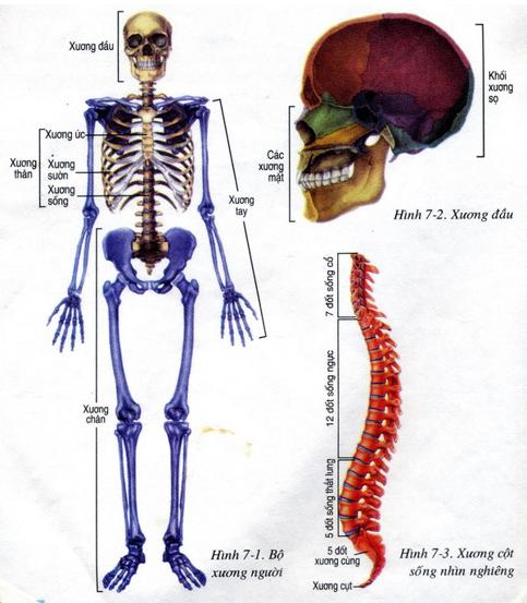 Hình 7.1 Hình ảnh bộ xương người