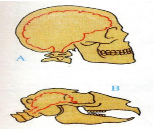 Hình 7.2 Xương đầu ở người (A) và Thú (B)