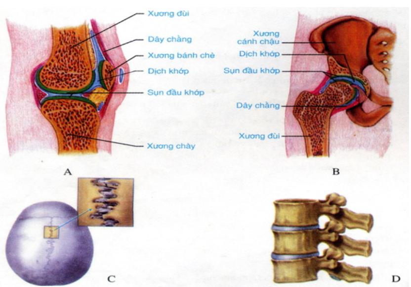 Hình 7.7 Các loại khớp xương. A,B Khớp động. C Khớp bất động. D Khớp bán động