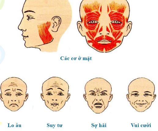 Hình 11.5 Các cơ nét mặt