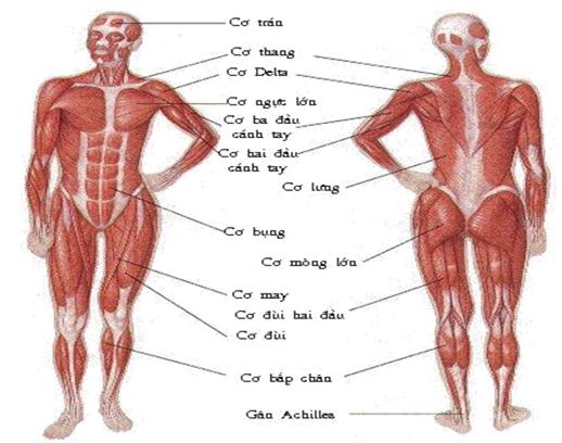 Hình 11.6 Các loại cơ trên cơ thể người