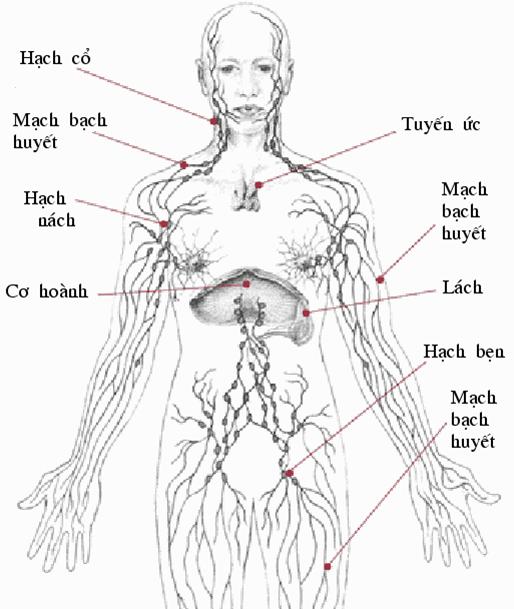 Hình 16.4 Hệ bạch huyết trong cơ thể người
