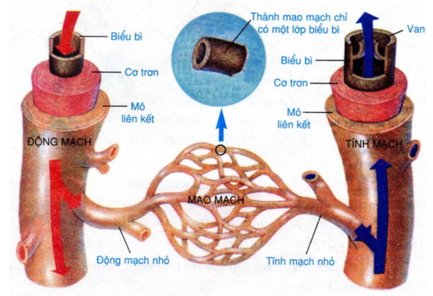 Hình 17.2 Sơ đồ cấu tạo trong của mạch máu