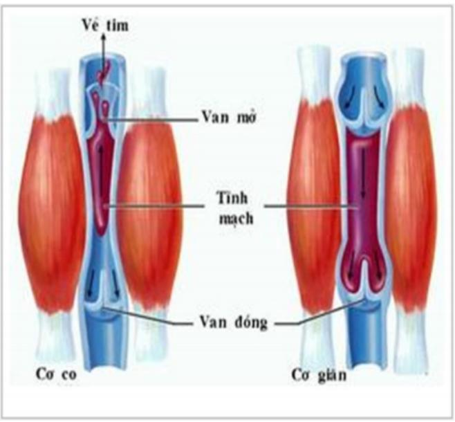 Hình 18.3 Vai trò của các van và cơ bắp quanh thành mạch trong sự vận chuyển máu qua tĩnh mạch