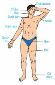 Hình 19.1 Các vị trí động mạch chủ yếu thường dùng trong sơ cứu