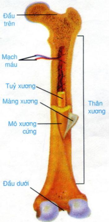 Hình 8.1 Cấu tạo xương dài