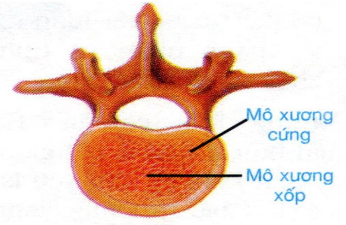 Hình 8.3 Cấu tạo xương ngắn điển hình là đốt sống