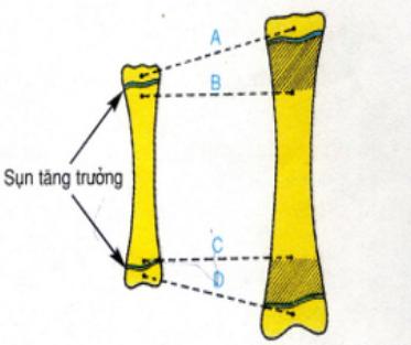 Hình 8.5 Vai trò của sụn tăng trưởng trong sự dài ra của xương
