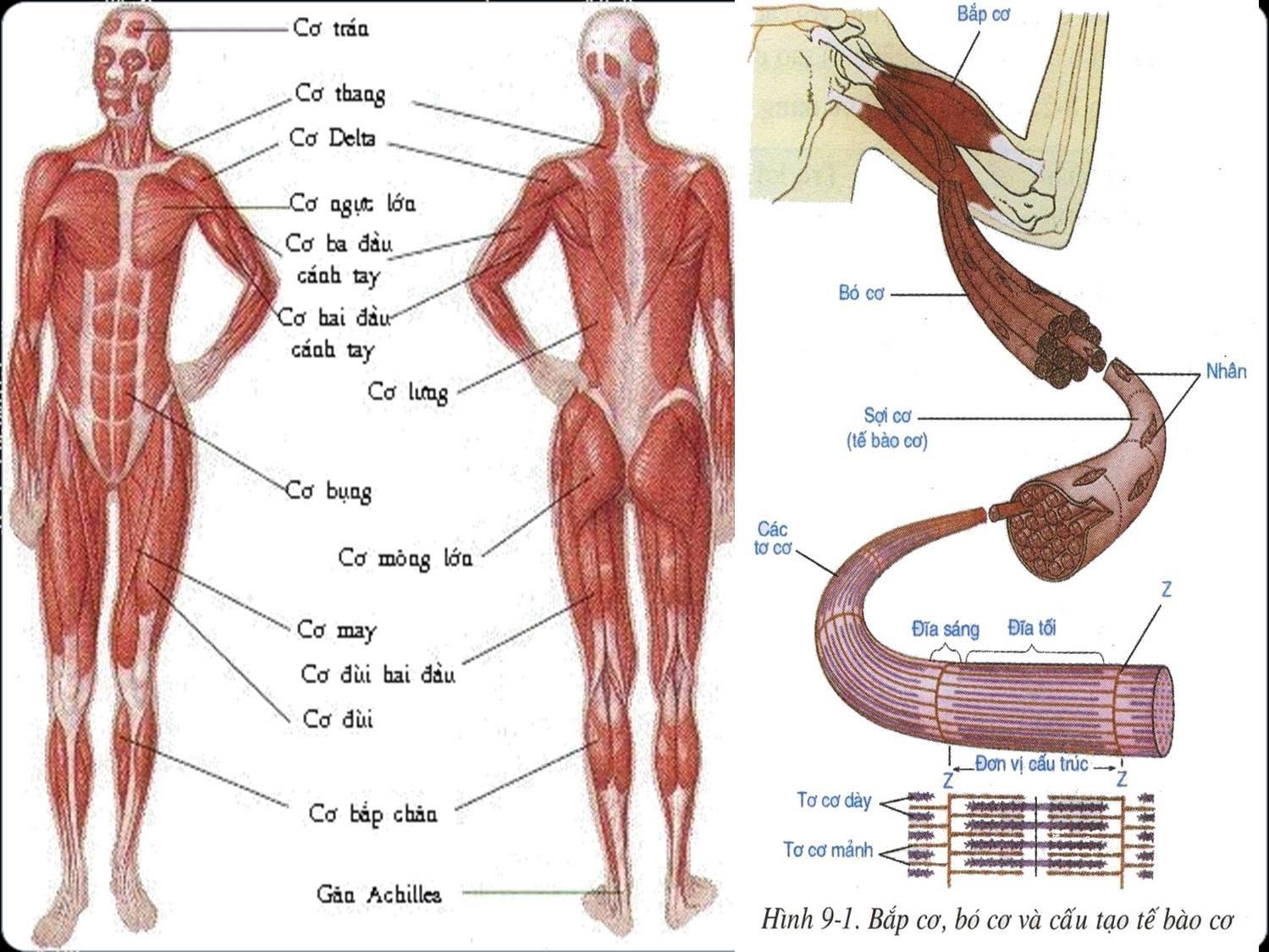 Hình 9.1 Bó cơ, Bắp cơ và cấu tạo tế bào