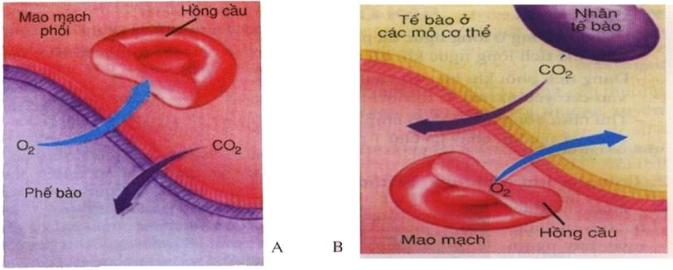 Hình 21.2 Sơ đồ cơ chế trao đổi khí ở phổi (A) và ở Tế bào (B)