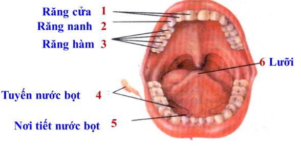 Hình 25.1 Cấu tạo khoang miệng