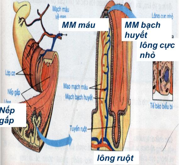 Hình 29.1 Cấu tạo trong củaruột non