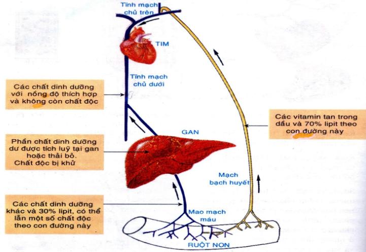 Hình 29.3 Các con đường hấp thụ và vận chuyển chất dinh dưỡng ở ruột non