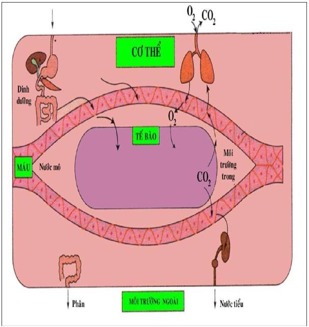 Hình 31.2 Trao đổi chất giữa tế bào và môi trường trong