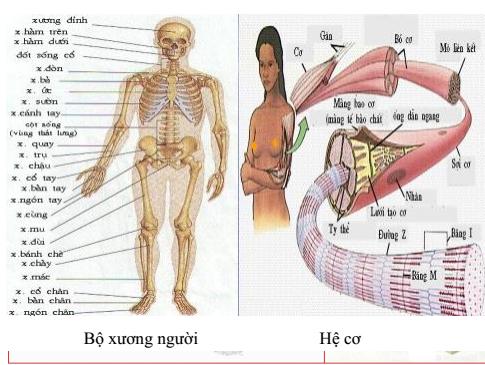Hình 35.2 Sự Vận động của cơ thể người
