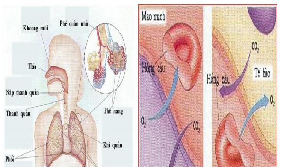 Hình 35.4 Hô hấp