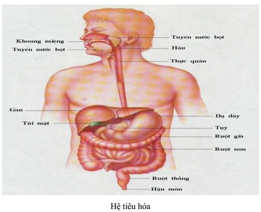 Hình 35.5 Hệ tiêu hóa