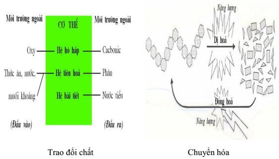Hình 35.6 Trao đổi chất và chuyển hóa