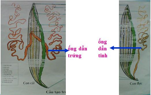 Cơ quan sinh sản của giun đũa