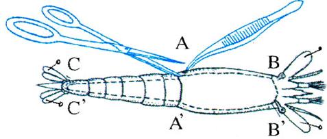 Cách mổ để quan sát cấu tạo trong của tôm