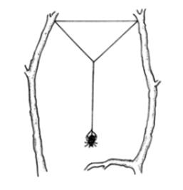 Chăng bộ khung lưới (các dây tơ khung)