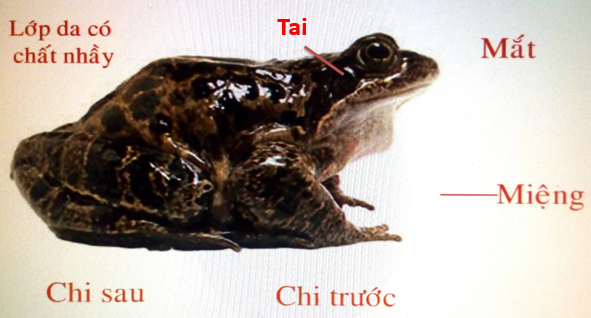 Hình dạng ngoài của ếch đồng