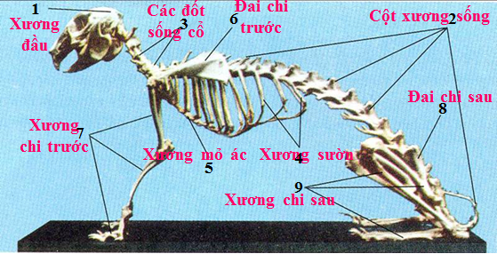 Bộ xương thỏ