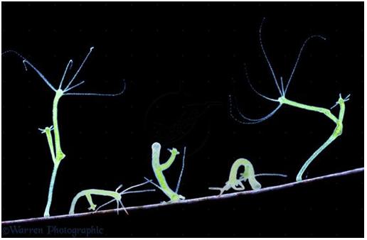 Các kiểu di chuyển của thủy tức dưới kính hiển vi