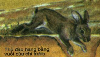 Thỏ đào hang bằng vuốt của chi trước