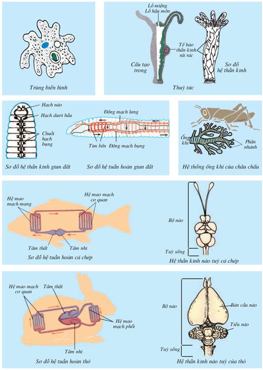 Sự tiến hóa của một số hệ cơ quan của đại diện các ngành Động vật