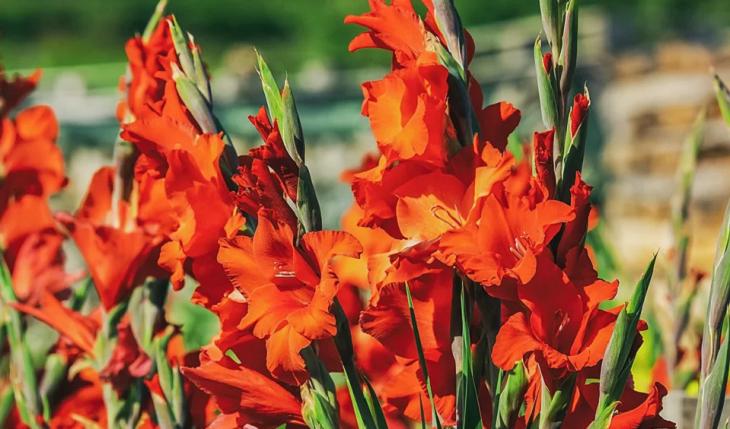 Cách chọn hoa lay ơn