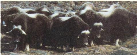 Bò rừng đang tập trung thành đàn trong quần thể