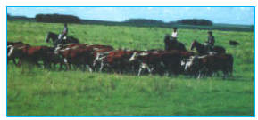 Chăn thả bò ở Ac-hen-ti-na