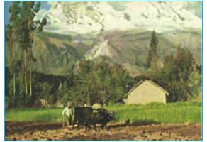 Trồng lúa mì ở Pê-ru