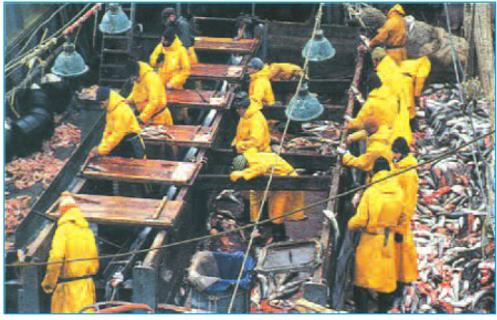 Sơ chế trên tàu đánh cá của Na-Uy