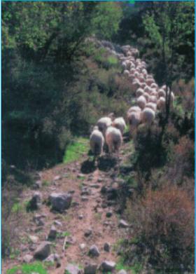 Chăn thả cừu ở Hy Lạp