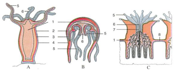 Cấu tạo trong cơ thể của một số đại diện ngành Ruột khoang
