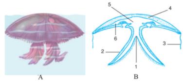 Cấu tạo cơ thể sứa