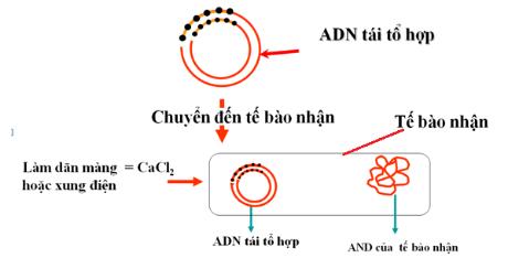 Sơ đồ đưa ADN tái tổ hợp vào tế bào nhận  