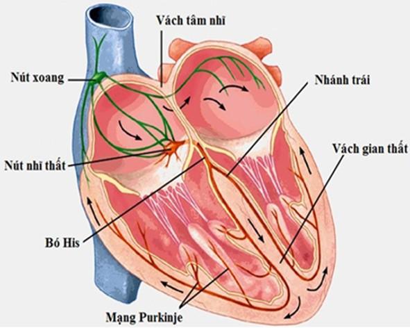 Sơ đồ hệ dẫn truyền tim
