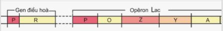 Sơ đồ cấu trúc gen của operon